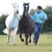Peter im Gleichlauf mit seinen Pferden